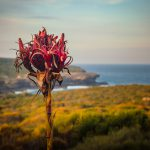 Luke Zeme Photography Gymea-Lily-150x150 PHOTO OF THE DAY- Strength in the Current, Tamarama Beach